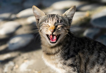 Cute Lone Stray Cat Yawning With Mouth Wide Open