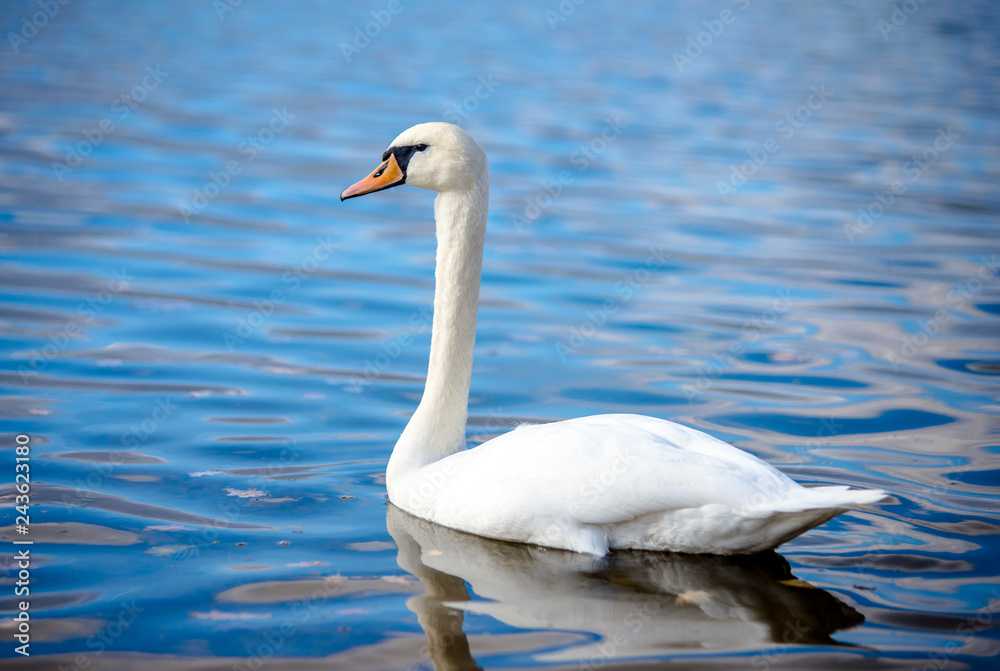 White Swan floating on the surface of the lake