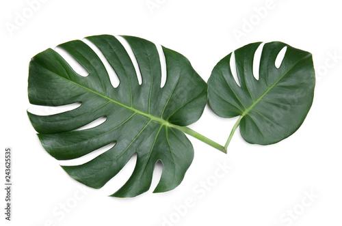 Poster Vegetal Fresh tropical monstera leaves on white background