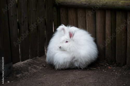 Photo An angora rabbit