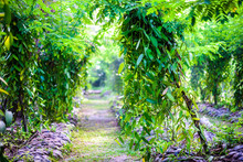 True Vanilla Plant - Vanilla P...