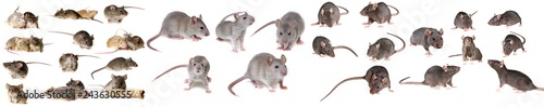 brown rat isolated on a white background - collection #243630555
