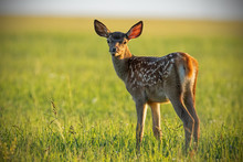 Young Cute Baby Red Deer, Cerv...