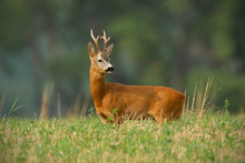 Roe Deer With Clear Blurred Background. Roebuck Stag In Summer With Big Antlers.