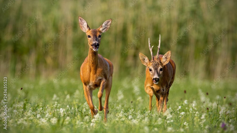 Fototapeta Roe deer, capreolus capreolus, buck and doe during rutting season. Male wild deer chasing female in mating season. Pair of two mammals in love.