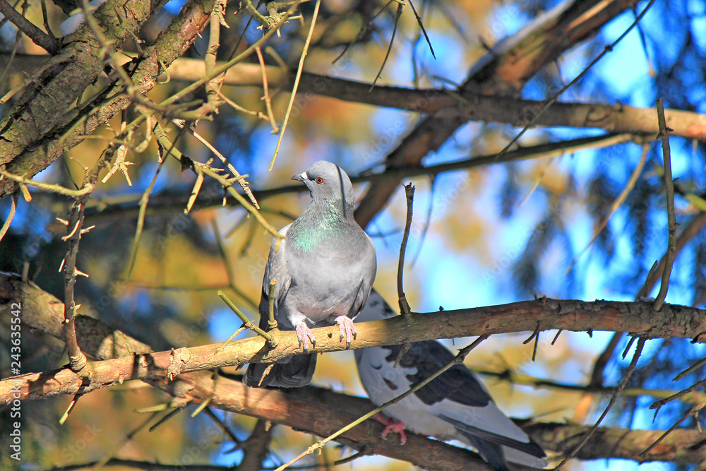 pigeon in the thickets of the forest