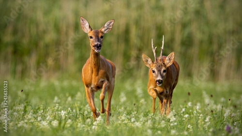In de dag Ree Roe deer, capreolus capreolus, buck and doe during rutting season. Male wild deer chasing female in mating season. Pair of two mammals in love.