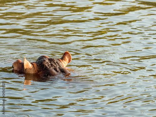 Hippo in Zambezi River, Zambia