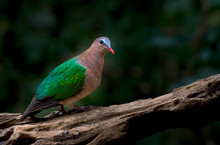 Emerald Dove On Branch In Nature