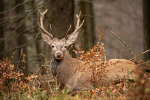 Red Deer, Cervus Elaphus, Lying In The Autumn Forest. Peaceful Willdife Scenery. Animal In Natural Environment. Orange Vivid Colors.
