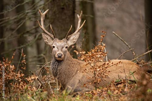 Poster Deer Red deer, cervus elaphus, lying in the autumn forest. Peaceful willdife scenery. Animal in natural environment. Orange vivid colors.