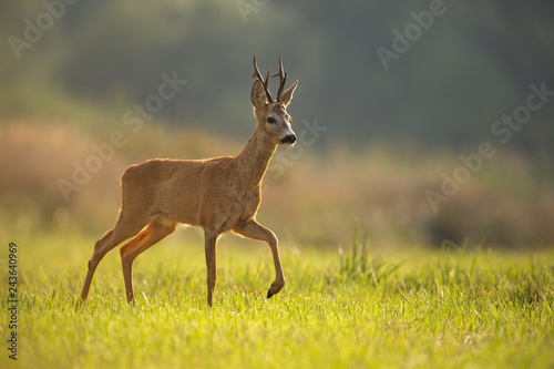 Poster Cerf Roe deer, capreolus capreolus, buck in summer. Wild animal in backlight walking. Wildlife scenery of mammal approaching.