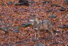 Grauwolf (Canis Lupus)