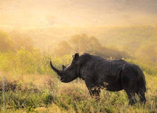 Fényképezés  Breitmaul Nashorn Bulle in Südafrika