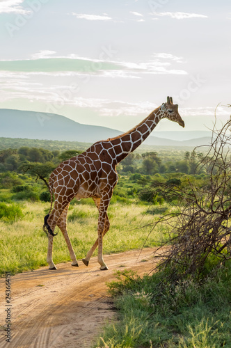 Fotografie, Obraz  Giraffe crossing the trail in Samburu