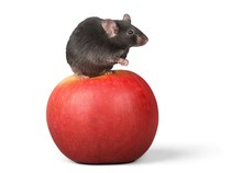 Mouse Sitting On An Apple