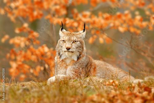 Lynx in orange autumn forest Canvas Print