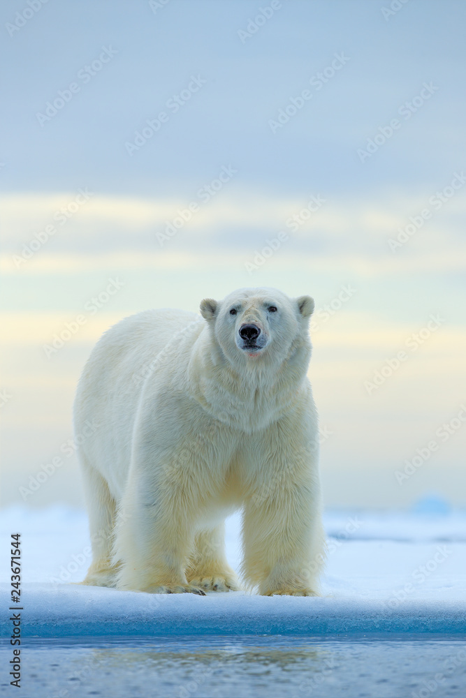 Fototapeta Polar bear on drift ice edge with snow and water in Norway sea. White animal in the nature habitat, Europe. Wildlife scene from nature. Dangerous bear walking on the ice, beautiful evening sky.