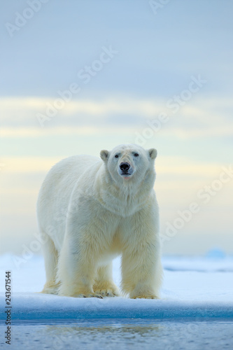 In de dag Ijsbeer Polar bear on drift ice edge with snow and water in Norway sea. White animal in the nature habitat, Europe. Wildlife scene from nature. Dangerous bear walking on the ice, beautiful evening sky.