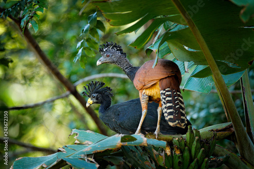 Fotografija  Pair of Great curassow, Crax rubra, in the nature forest habitat, birds sitting on the palm leave in green vegetation
