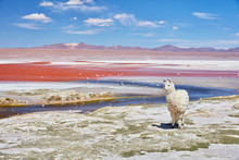 Bolivia, Laguna Colorada, Llama Standing At Lakeshore