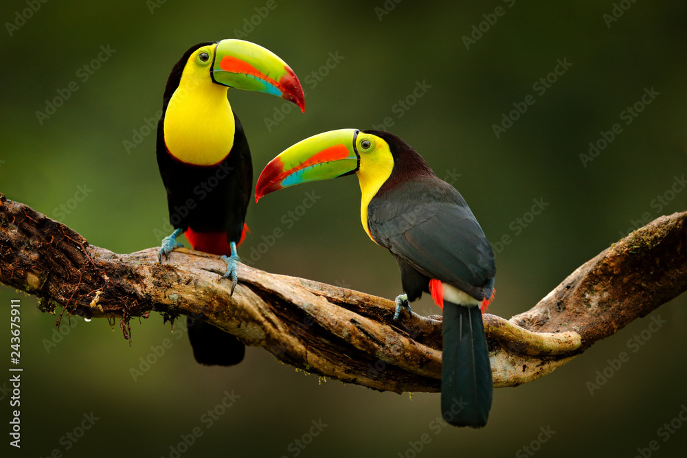 Fototapeta Toucan sitting on the branch in the forest, green vegetation, Costa Rica. Nature travel in central America. Two Keel-billed Toucan, Ramphastos sulfuratus, pair of bird with big bill. Wildlife.