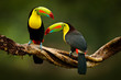 canvas print picture - Toucan sitting on the branch in the forest, green vegetation, Costa Rica. Nature travel in central America. Two Keel-billed Toucan, Ramphastos sulfuratus, pair of bird with big bill. Wildlife.