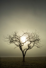 Tree Without Leaves Against The Morning Sun, Morning Fog, Autumn