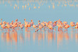 Lesser Flamingo, Phoeniconaias minor, flock of pink bird in the blue water. Wildlife scene from wild nature. Flock of flamingos walking and feeding in the water, Walvis Bay, Namibia in Africa.