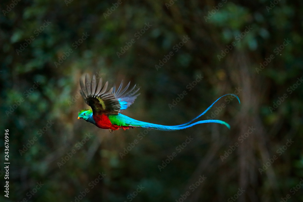 Fototapeta Flying Resplendent Quetzal, Pharomachrus mocinno, Costa Rica, with green forest in background. Magnificent sacred green and red bird. Action flight moment with Quetzal, beautiful exotic tropic bird.