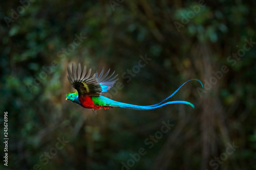 Photo sur Aluminium Oiseau Flying Resplendent Quetzal, Pharomachrus mocinno, Costa Rica, with green forest in background. Magnificent sacred green and red bird. Action flight moment with Quetzal, beautiful exotic tropic bird.