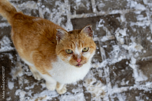 Photo  A large white-orange cat is carefully watching against the background of the roa