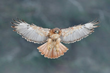 Flying Bird Of Prey, Red-taile...