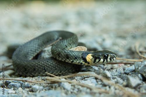 Grass snake, natrix natrix crawling on the ground