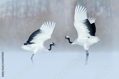 Fotografie, Tablou Dancing birds on the snow meadow. Crane from Japan.