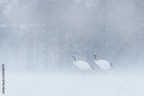 Fotografie, Obraz  Red-crowned crane, Grus japonensis, walking in the snow, Hokkaido, Japan