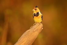 Yellow Bird Crested Barbet, Trachyphonus Vaillantii, Chobe National Park, Botswana. Wildlife Scene From Nature. Bird On The Tree Branch.