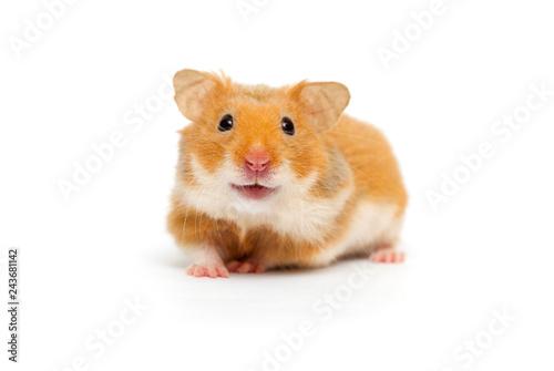 hamster looking
