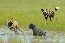 Wild Dog Hunting In Botswana, ...