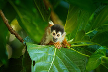 Squirrel Monkey, Saimiri Oerst...