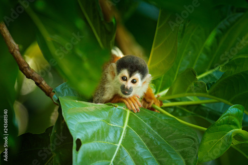 Valokuvatapetti Squirrel monkey, Saimiri oerstedii, sitting on the tree trunk with green leaves, Corcovado NP, Costa Rica