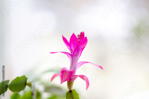 christmas cactus thanks cactus crab holiday cactus ... on