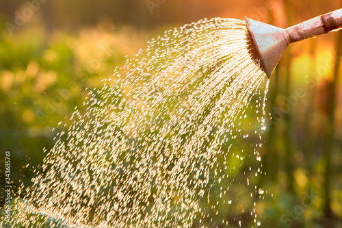 Obraz Watering can on the garden,Watering the garden at sunset,Vegetable watering can - fototapety do salonu