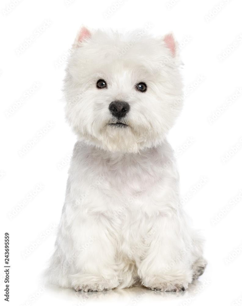 Fototapety, obrazy: West highland white terrier Dog  Isolated  on White Background in studio