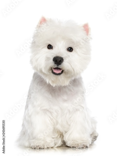 Obraz West highland white terrier Dog  Isolated  on White Background in studio - fototapety do salonu