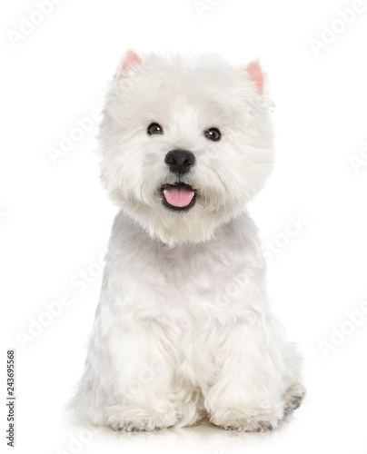 Poster Chien West highland white terrier Dog Isolated on White Background in studio