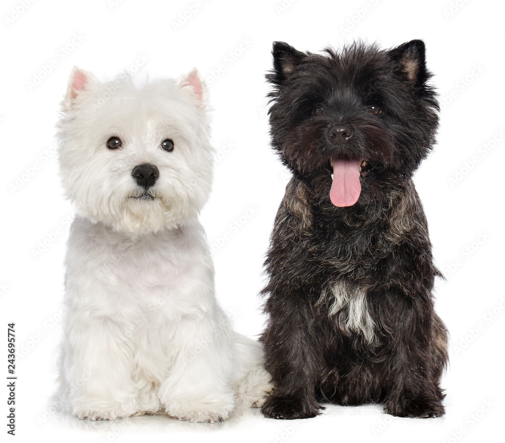 Fototapeta West highland white terrier and Cairn terrier Dog  Isolated  on white Background in studio