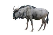 Wildebeest Isolated On White B...