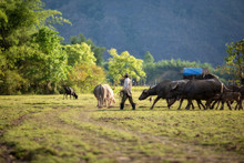 Laos The Farmer And Water Buffaloes In Field This Is Lifestyle People In Rural Of Laos.
