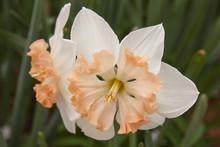 Pink Peach Daffodil